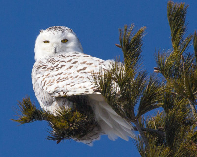 """""""Snowy in the Pines 2"""" Snowy Owl Print"""
